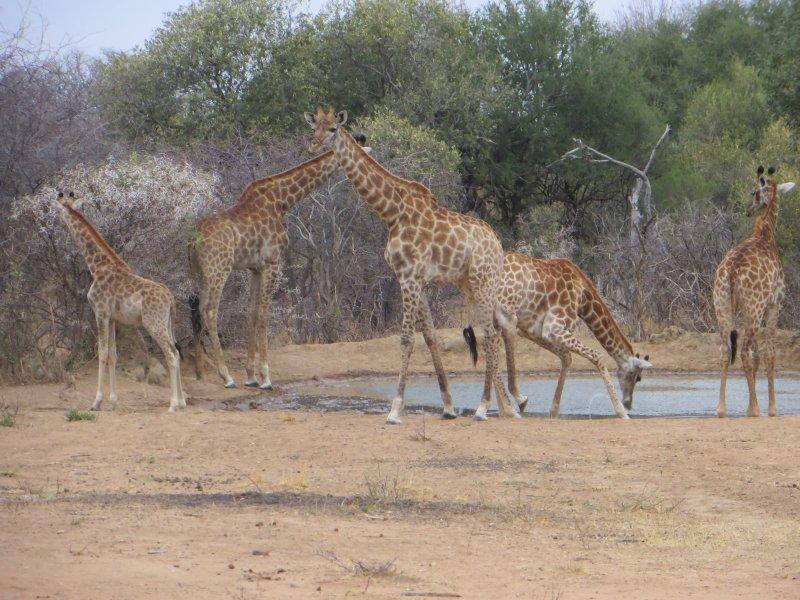 giraffe at waterhole.jpg