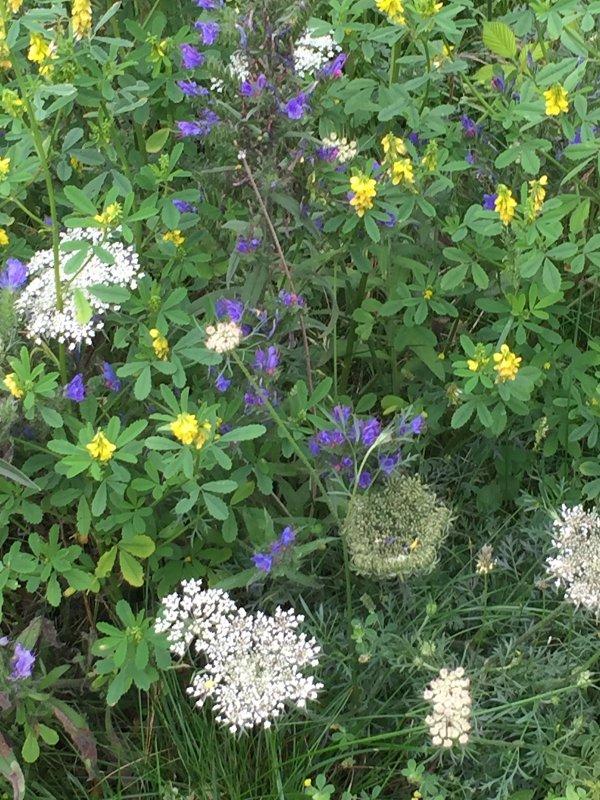 Viper's Bugloss, wild Carrot and Mellilot .JPG