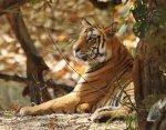 Tiger at Bandavgarh 2014.jpg
