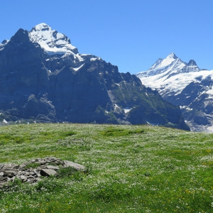 Switzerland Alpine Flowers - Grindelwald