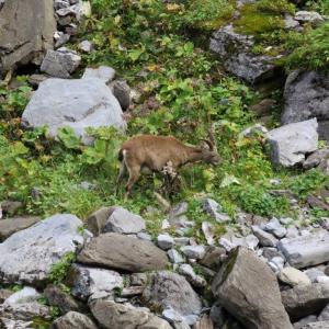 Rhone Alps - Samoens, Ibex