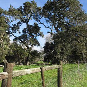 Coastal oaks near Lompoc