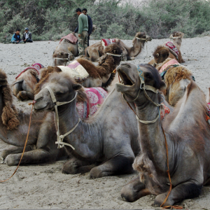 Camels, Nubra valley