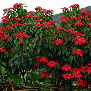 Poinsettia growing wild, Bhutan