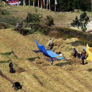 Working in the fields, near Radi, Bhutan