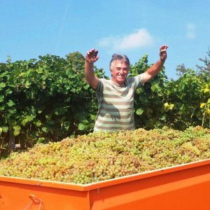 Chardonnay harvest at Cascina Monticello