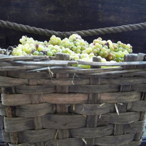 Cortese grapes