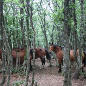 Semi-wild horses at Monte Catria