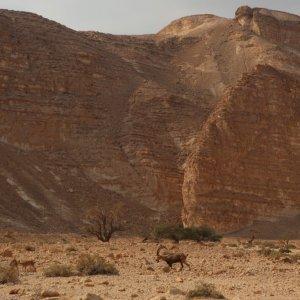 Ibex, Wadi Barak, Paran