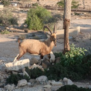 Ibex in Mitzpe Ramon