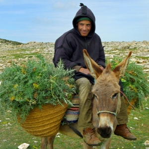 Berber and donkey