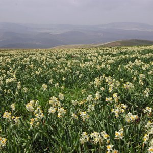 Fields of wild Narcissus, Jugurtha's Table