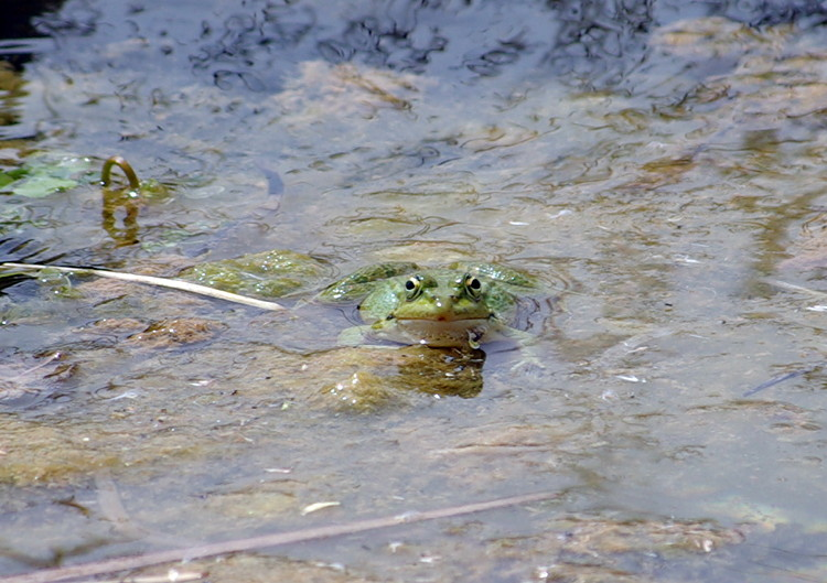 Ksar Ezzit - frog in the swimming pool